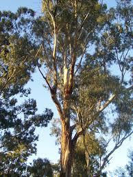 file eucalyptus tree jpg wikimedia commons