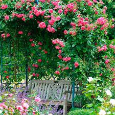 laguna climbing rose rosa u0027koradigel u0027 pink climbing rose from jp