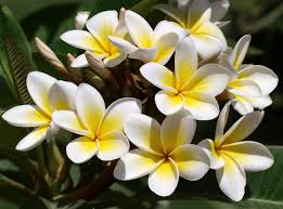 plumeria flower wallpaper plumeria flowers buds green beautifully hd picture