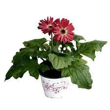 gerbera plant gerbera plant bhanu agri bio sciences manufacturer in medchal