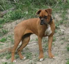 boxer dog price miniature boxer dog breed information and pictures