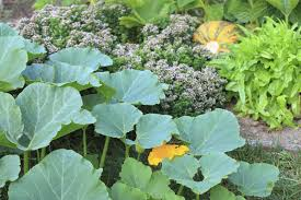 pumpkin companion plants u2013 suggestions for plants that grow well
