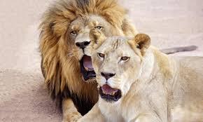 Nevada wildlife tours images Lion habitat ranch of henderson henderson nv groupon jpg