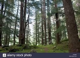deodar cedar trees cedrus deodara in the deodar forest