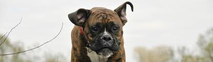 boxer dog vomiting after eating the original top 50 barf faqs for beginners barf a bones and
