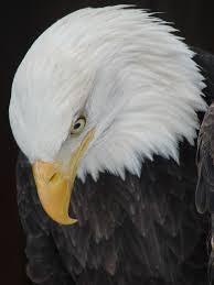 America Eagle Meme - evil eagle meme eagle best of the funny meme