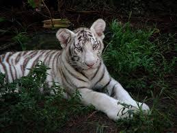 Cub Scout Belt Loop Worksheets Tiger Cub Den Møte Forslaget Liability Hand Tk