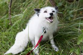 pictures of a american eskimo dog domesticated red fox wikipedia