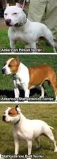 american pitbull terrier vs amstaff blasco family bulldogs no american bulldogs are not pitbulls