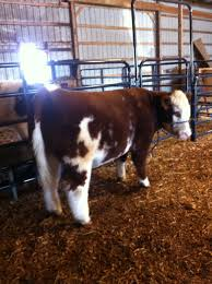 Show Steer Barns Fluffy Cows Butler Agvocates