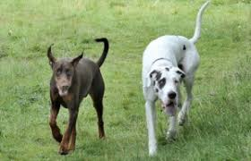 Blind Dog And Friend Dexter The Doberman Guide Dog Dillan His Blind Friend