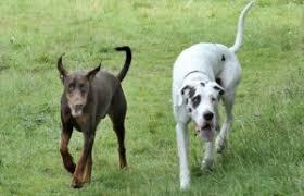 Blind Great Dane Dexter The Doberman Guide Dog Dillan His Blind Friend