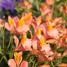 alstroemeria flower alstroemeria
