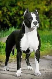 american pitbull terrier yavru 96 best canes a1 images on pinterest animals beautiful dogs