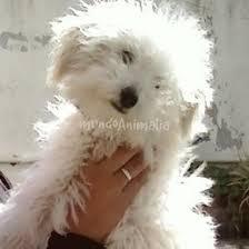 poodle y bichon frise nose si tengo un caniche toy o bichon frisse foros de caniche