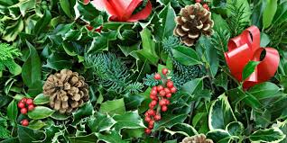 bbc earth why we decorate our homes with holly