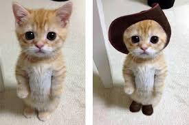 adorable kitten reminds u0027puss boots u0027