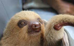 rescued from the illegal pet trade vish the sloth gets a
