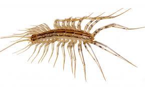 how to get rid of centipedes u2013 natural centipede prevention u0026 control