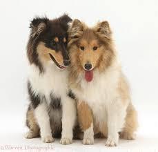 afghan hound de 1 mes 27 best favourite dog breeds images on pinterest animals