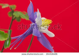 State Flower Of Colorado - state flower stock images royalty free images u0026 vectors