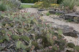 winterharte kakteen agaven und yucca sarastro stauden