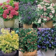 Dc Thomson Shop Flowering Shrubs Shrubs Garden Home