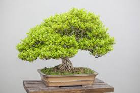 5 tips for buying an indoor bonsai tree ebay