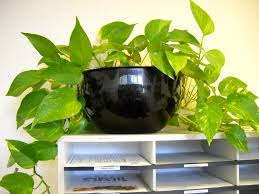 low light houseplants plants that don t require much light pothos plant care bob s market and greenhouses