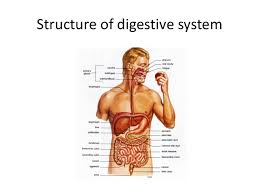 Human Anatomy And Body Systems Human Body Systems
