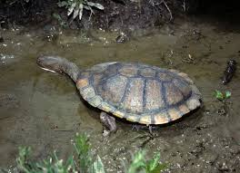 eastern long necked turtle
