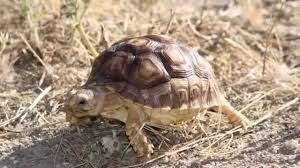 baby sulcata tortoise explores grassy backyard for the first time