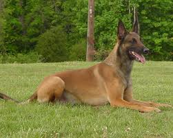 belgian sheepdog facts belgian malinois dogs pets cute and docile