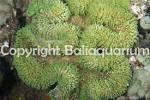 Image result for Lobophyllia flabelliformis
