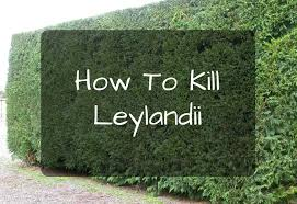 how to kill leylandii cupressus leylandii my gardening network
