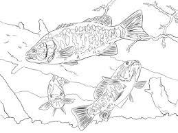 smallmouth bass animal fish coloring animal free download