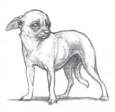 drawn chihuahua pencil and in color drawn chihuahua