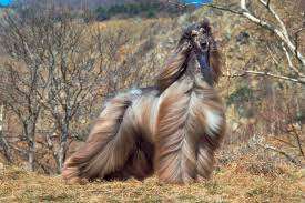 afghan hound therapy dog 6 dog breeds that require a lot of grooming american kennel club
