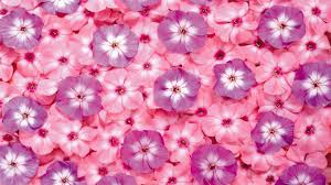 Vs Pink Wallpaper by Pink And Purple Flowers Hd Wallpaper Pink And Purple Wallpaper