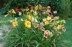 day lilies growing daylilies and daylily propagation farmer s almanac