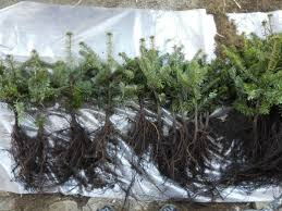 nordmann or caucasian trees plants nordmann or caucasian trees
