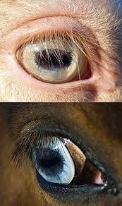 Diseases Of The Eye That Cause Blindness Equine Vision Wikipedia