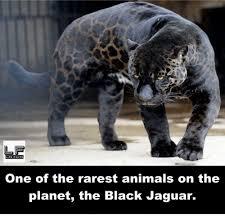 Jaguars Memes - 25 best memes about rarest animal rarest animal memes
