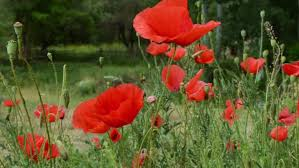 flowering poppies on wind against sunset stock footage