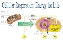 15 best cellular respiration images on pinterest anaerobic