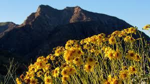 Flowers Anza Borrego Wildflower Super Bloom Photos Of The Anza Borrego Desert Anza