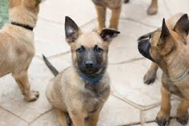belgian sheepdog breeders in illinois view ad belgian malinois puppy for sale california imperial