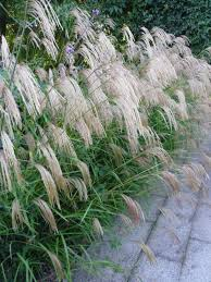 ornamental grass 6 flowering plant collection plants to plant