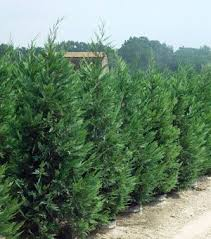 best 25 privacy trees ideas on pinterest privacy landscaping
