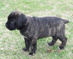 belgian shepherd x mastiff cane corso italian mastiff breed information u0026 pictures